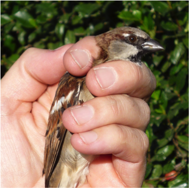 Photo: Griffith (first SparrowNet bird caught)